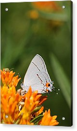 Gray Hairstreak On Butterfly Weed Acrylic Print by Dick Todd