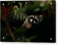 I Can See You  Mr. Raccoon Acrylic Print by Kym Backland