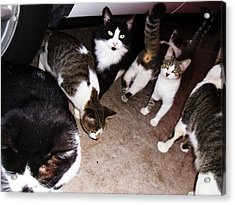 Mama Cat And Kittens Acrylic Print by Trudy Brodkin Storace