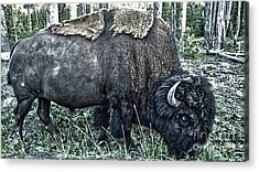 Molting Bison In Yellowstone National Park Acrylic Print by Gregory Dyer