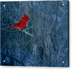 Northern Cardinal Acrylic Print by Thomas Young