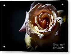 Painted Rose Acrylic Print by Holly Martin