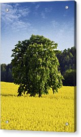 Rapeseed Field  Acrylic Print by Aged Pixel
