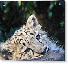 Snow Leopard Cub Acrylic Print by Margaret Saheed