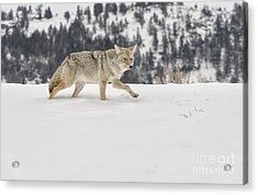 Winter's Determination Acrylic Print by Sandra Bronstein