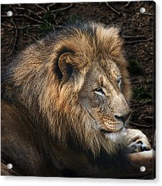 African Lion Acrylic Print by Tom Mc Nemar