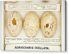 Agriocharis Ocellata Eggs Acrylic Print by Natural History Museum, London