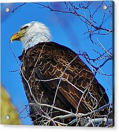 American Bald Eagle Acrylic Print by Bruce Bley