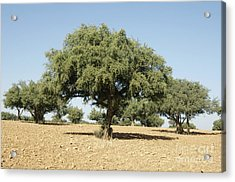 Argan Trees Argania Spinosa Acrylic Print by Johnny Greig