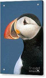 Atlantic Puffin Acrylic Print by Art Wolfe