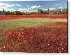 Autumn Blueberry Field Maine Acrylic Print by Scott Leslie