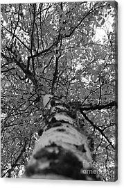 Birch Tree Acrylic Print by Jennifer Kimberly