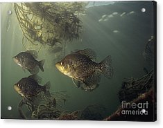 Black Crappie Trio Acrylic Print by Engbretson Underwater Photography