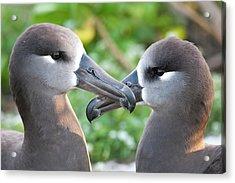 Black-footed Albatross (phoebastria Acrylic Print by Daisy Gilardini