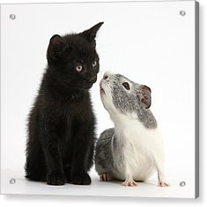 Black Kitten And Guinea Pig Acrylic Print by Mark Taylor