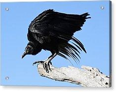 Black Vulture Acrylic Print by Paulette Thomas