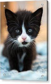 Blake And White Kitten Acrylic Print by Iris Richardson