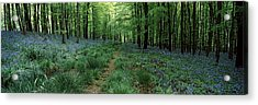 Bluebell Wood Near Beaminster, Dorset Acrylic Print by Panoramic Images