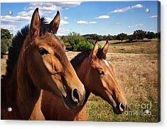 Breed Of Horses Acrylic Print by Carlos Caetano