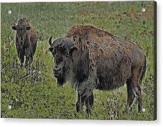 Buffalo Painterly Acrylic Print by Ernie Echols