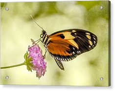 Butterfly IIi Acrylic Print by Diane Wood