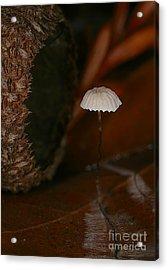 C Ribet Mushroom And Fungi Art Acorn Still Life Acrylic Print by C Ribet