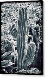 Cactus Land Acrylic Print by Kelley King