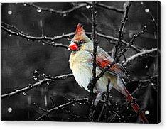 Cardinal On A Rainy Day Acrylic Print by Trina  Ansel
