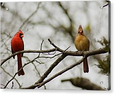 Cardinals Acrylic Print by Kimberly Danner