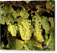 Chardonnay Wine Clusters Acrylic Print by Craig Lovell