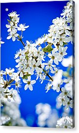 Cherry Blossom With Blue Sky Acrylic Print by Raimond Klavins