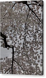 Cherry Blossoms - Washington Dc - 011342 Acrylic Print by DC Photographer