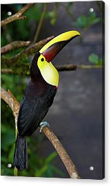 Chestnut-mandibled Toucan, Ramphastos Acrylic Print by Thomas Wiewandt