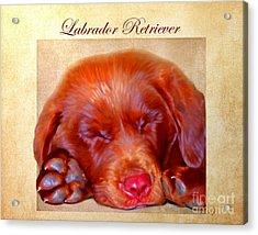 Chocolate Labrador Puppy Acrylic Print by Iain McDonald