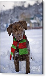 Chocolate Labrador Retriever Acrylic Print by Rolf Kopfle