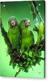 Cobalt-winged Parakeets Acrylic Print by Art Wolfe
