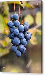 Concord Grapes Acrylic Print by Michael Russell