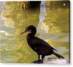 Cormorant Acrylic Print by Robert Brown