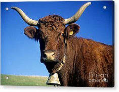 Cow Salers Acrylic Print by Bernard Jaubert