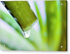 Cut Aloe Vera Leaf Acrylic Print by Alex Hyde