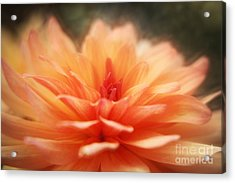 Dahlia Blooming Acrylic Print by LHJB Photography