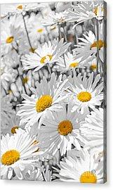 Daisies In Garden Acrylic Print by Elena Elisseeva