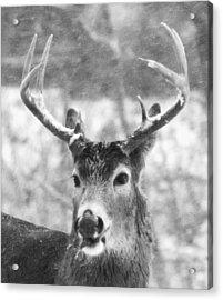 Deer Acrylic Print by Todd Sherlock