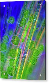 Diatoms And Spirogyra Algae Acrylic Print by Marek Mis