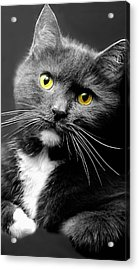 Domestic Gray And White Short Hair Acrylic Print by Diana Angstadt