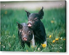 Domestic Piglets Acrylic Print by Alan Carey