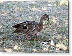 Duck - Animal - 01131 Acrylic Print by DC Photographer