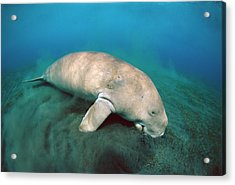 Dugong  Feeding On Sea Grass Acrylic Print by Mike Parry