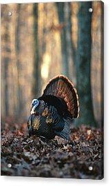 Eastern Wild Turkey (meleagris Acrylic Print by Richard and Susan Day