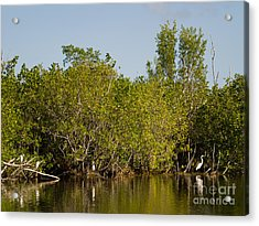 Everglades  Egrets Acrylic Print by Tracy Knauer